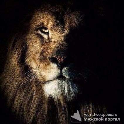 Лев на черном фоне. Фото для цитаты.